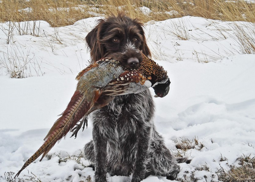 How to Select a Hunting Dog