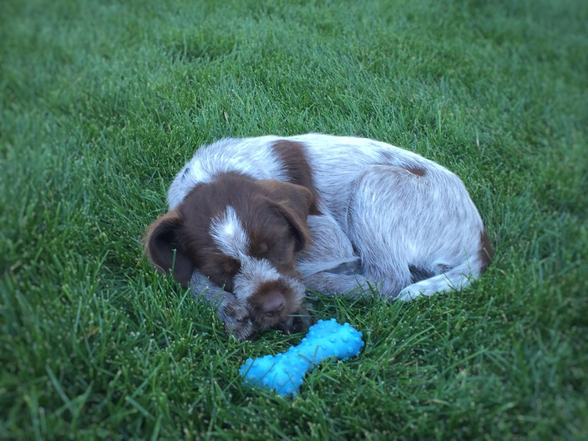 Picking up your Hunting Dog Wirehair Pointing Griffon