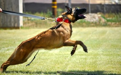 Life Lessons Learned From an Attack Dog