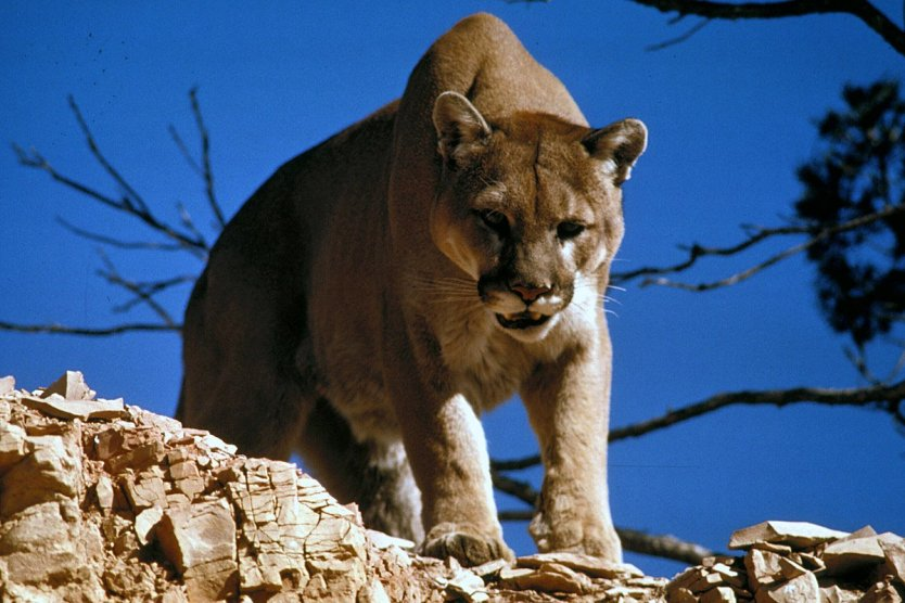 """""""Never Quit Attitude"""" Even If Wrestling A Mountain Lion"""