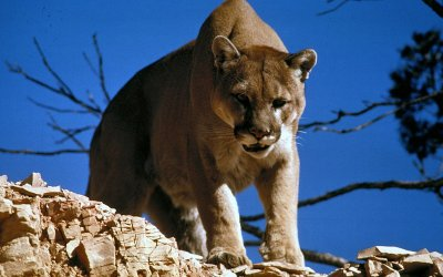 """Never Quit Attitude"" Even If Wrestling A Mountain Lion"