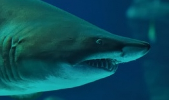 Shark sighting in Poway, California… Loan Shark that is