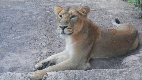 Terra Natura Benidorm recibe a tres leonas asiáticas