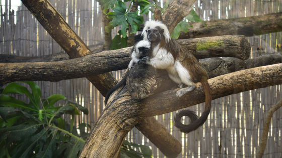 Nace en Terra Natura Benidorm un tití cabeza de algodón, especie en peligro crítico de extinción