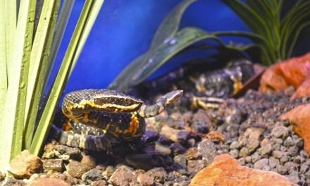 Terra Natura Benidorm acull el naixement de quatre víbores cantil, un dels rèptils més amenaçats d'Amèrica