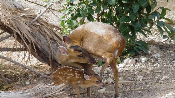 La família de Terra Natura Benidorm creix amb el naixement d'una cria de muntjak