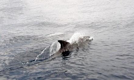 Aumenta el avistamiento de delfines por parte del Servicio de Vigilancia Marina del Parque Natural de Serra Gelada
