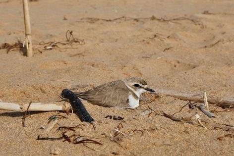 Aparecen nidos de Chorlitejos patinegros en plena Playa de La Mata, frente al Parque del Molino del Agua