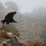 Un visitante excepciona en el Projecte Canyet de Alcoy, un buitre negro