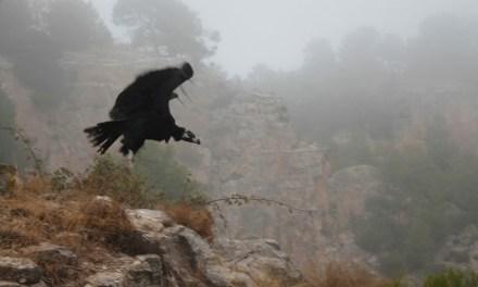 Un visitant excepcional al Projecte Canyet d'Alcoi, un voltor negre