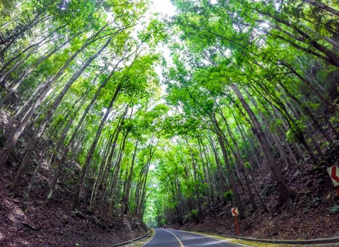 Loboc man made forest1