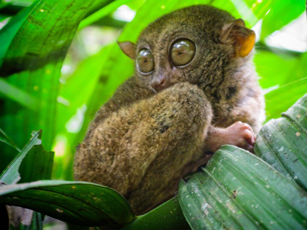 Philippine tarsier and wildlife
