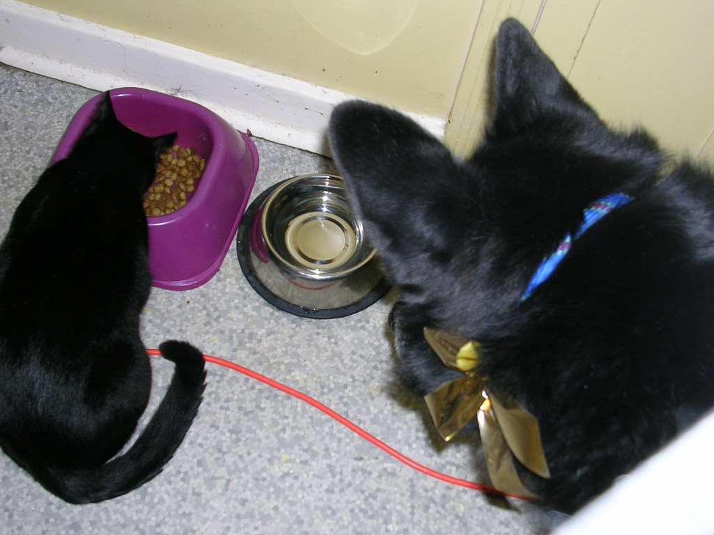 The back of a black dog's head as he looks down at a black cat eating from his food dish.