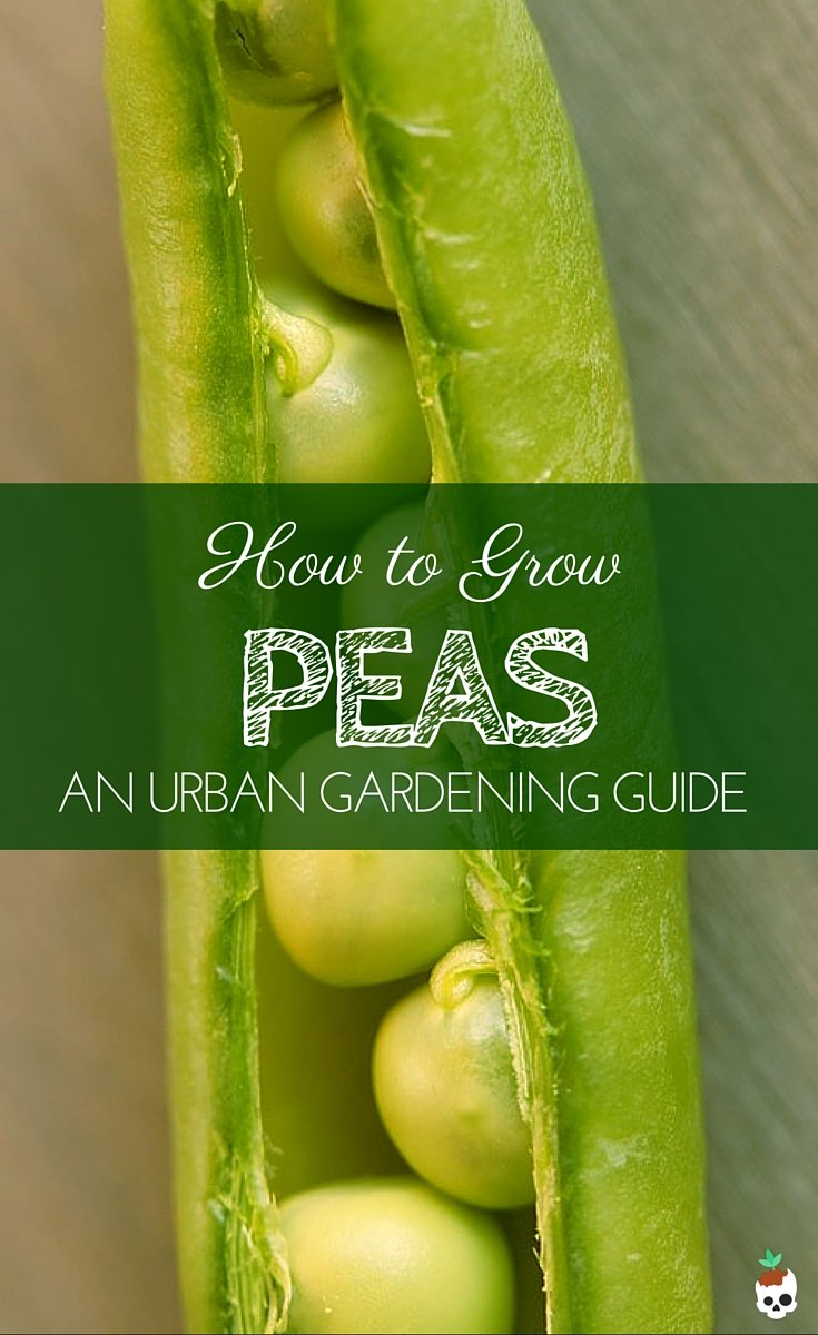 How To Grow Peas In Containers