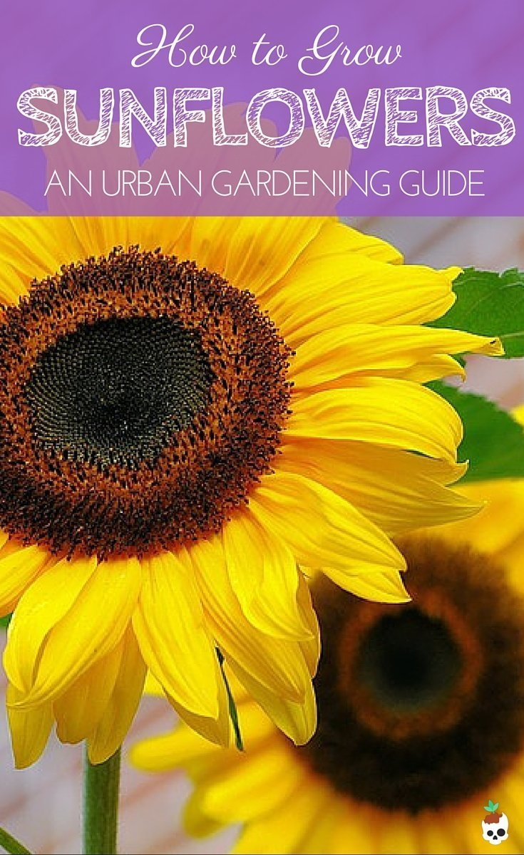 Growing Sunflowers In Pots On Your Balcony Or Patio
