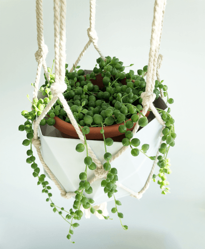 6 easy to propagate succulents | string of pearls succulent