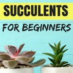 7 Easy To Grow Succulents For Beginners Lobotany