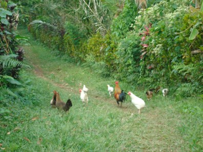 Chicken Path