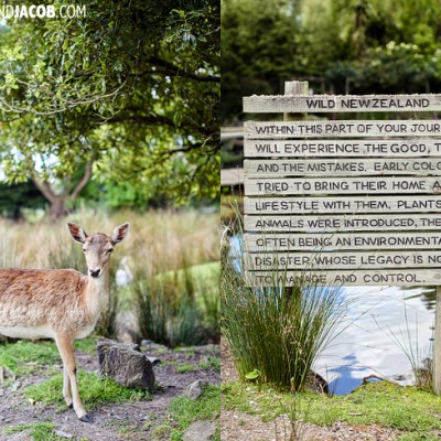 fallow deer willowbank wildlife reserve christchurch new zealand   travel photos