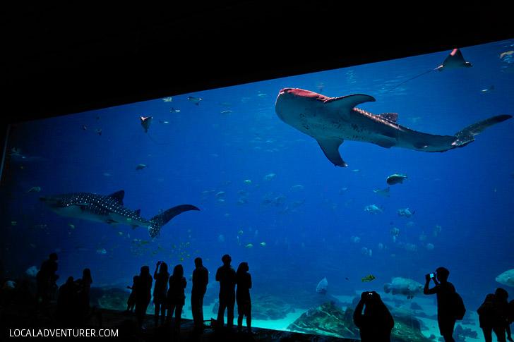 Georgia Aquarium Whale Sharks - Largest Aquarium in America // localadventurer.com