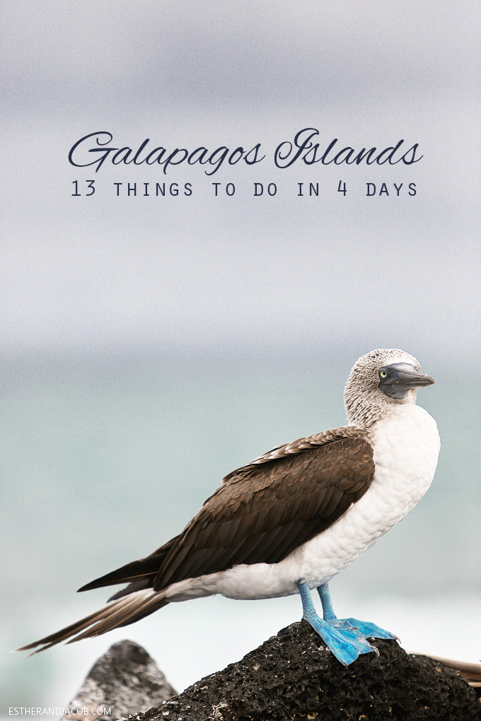 13 things to do in galapagos islands. attractions of the galapagos islands. Blue footed booby bird. blue-footed boobies! Blue footed boobie. blue-footed booby. blue foot booby.