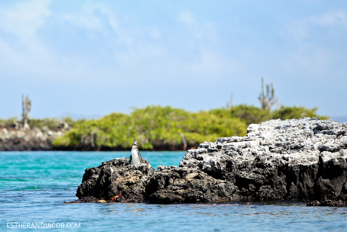 Galapagos Penguin pictures Las Tintoreras - see second smallest pinguin and snorkel with sea turtles. 13 things to do in galapagos islands. attractions of the galapagos islands. galapagos islands animals. Isabela Island. Isla Isabela. Albemarle Island. galapagos pictures.