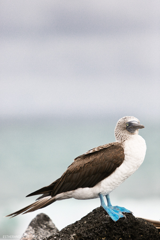 experiencing the galápagos islands and blue footed boobies.