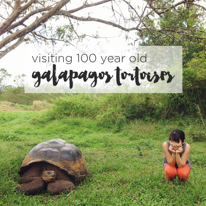 Visiting the 100 Year Old Galapagos Tortoise at Rancho Primicias.