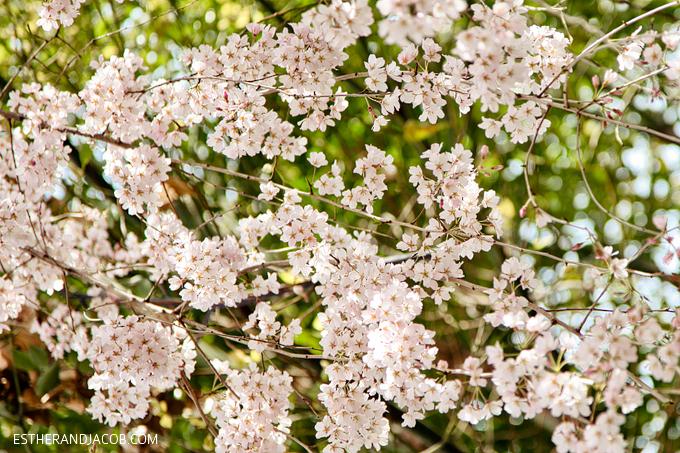 Photo of cherry blossom japan.