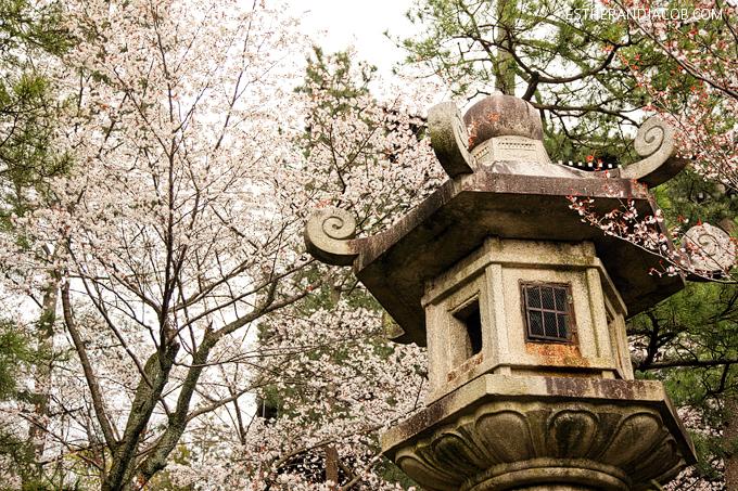 Photo of cherry blossom festival in japan | Japanese cherry blossom trees.
