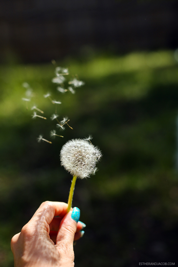 Dandelion Pictures & Dandelion Photography | Pictures of springtime | Why I Love Spring.