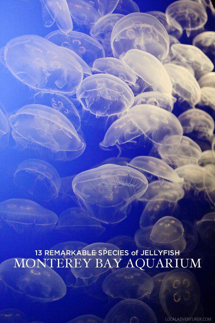 13 Remarkable Species of Jellyfish at the Monterey Aquarium Ca.