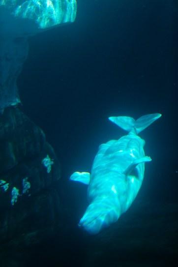Beluga Whale Seaworld San Diego.