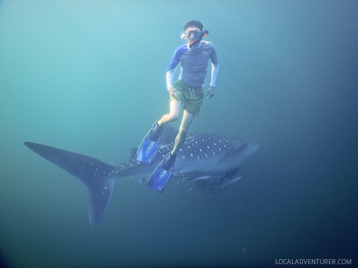 Snorkeling with Whale Sharks at Derawan Island Indonesia.