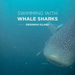 Swimming with Whale Sharks at Derawan Island Indonesia