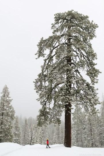 Yosemite Winter Activities - Snowshoeing at Badger Pass.