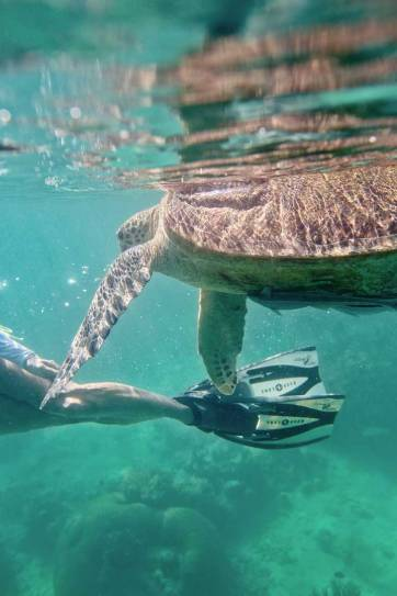 Snorkeling with Sea Turtles - Green Sea Turtles are endangered and hard to find anywhere else, but you're almost guaranteed to see them in Derawan Islands Indonesia! // localadventurer.com