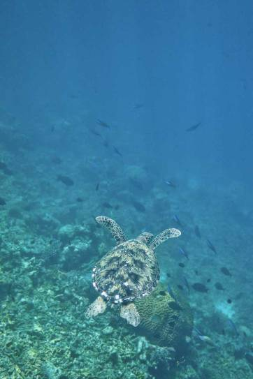 Swimming with Dozens of Endangered Sea Turtles in Indonesia - where you're almost guaranteed to see rare species of sea turtles // localadventurer.com