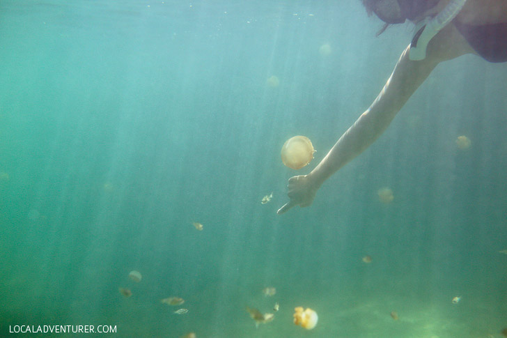 Swimming with Lagoon Jellyfish that Don't Sting - Derawan Island Indonesia // localadventurer.com
