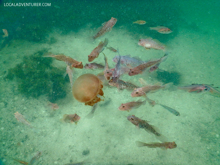 Stingless Jellyfish in Kakaban Island still have predators // localadventurer.com