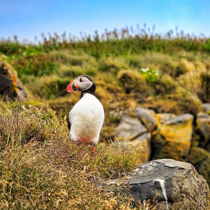 Puffin Watching in Iceland (+ 11 Greatest Things to Do in Reykjavik) // localadventurer.com