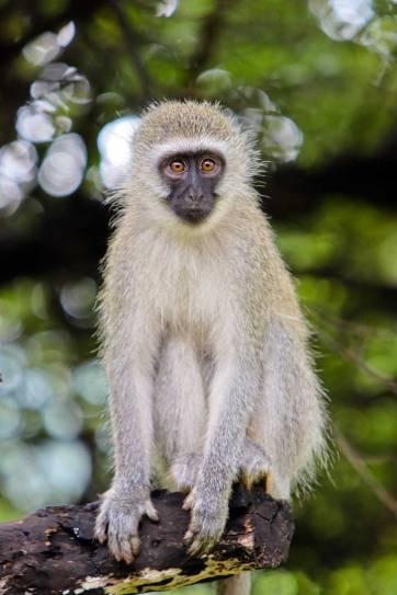 Bakubung Bush Lodge - An Amazing Safari Day Trip to Pilanesberg National Park from Johannesburg South Africa // localadventurer.com