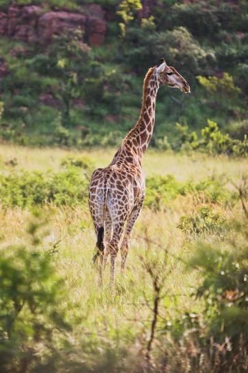 Pilanesburg Nature Reserve Safari - an Amazing Day Trip from Johannesburg South Africa // localadventurer.com