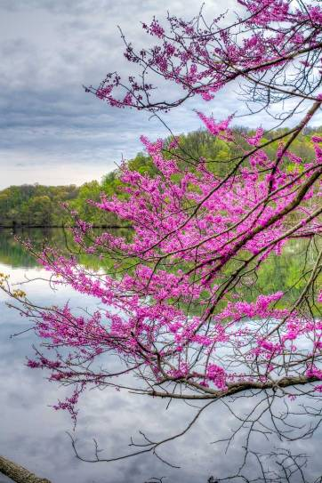 Cherry Blossoms Nashville, TN - a 4-mile loop lined with cherry trees that bring you through Sylvan Park and then back through historic Richland-West End (pc: Kelly Verdeck) // localadventurer.com