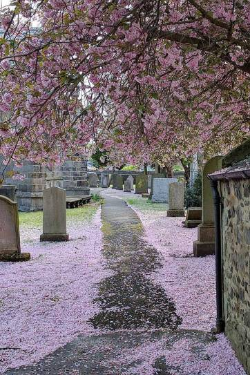 Edinburgh Scotland - Cherry Blossoms Edinburgh (pc: Matteo Doni) - Pack a lunch and have a picnic under the blooming cherry trees in Alnwick Gardens // localadventurer.com