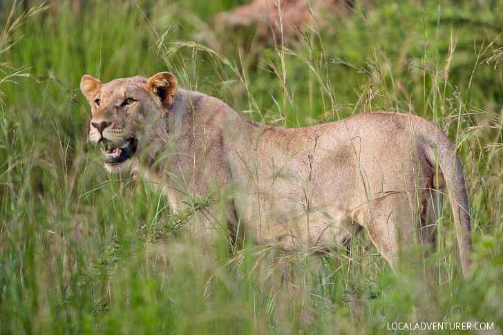Pilanesberg Nature Reserve Safari - an Amazing Day Trip from Johannesburg South Africa // localadventurer.com
