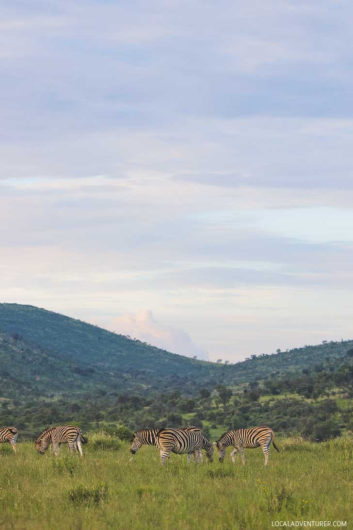 Pilanesberg Safari - an Amazing Day Trip from Johannesburg South Africa // localadventurer.com