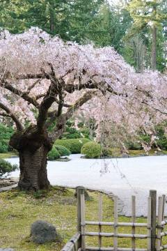 Portland, Oregon - Find cherry blossoms in Portland Japanese Garden and cherry trees line the path at the Japanese American Historical Plaza (pc: Peter Shin) // localadventurer.com