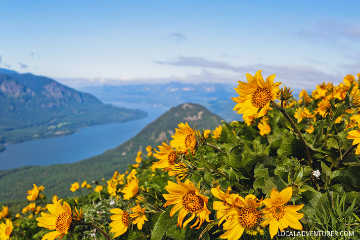 Dog Mountain Hike, Columbia River Gorge, Washington + 15 Best Wildflower Hikes in the Pacific Northwest // localadventurer.com