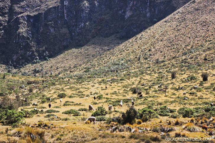 Llamas and Alpacas! Hiking the Inca Trail Day 2 // localadventurer.com